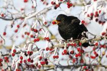 """Zwischenergebnisse der """"Stunde der Wintervögel"""" liegen vor"""